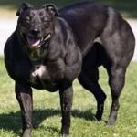 Самая москулистая собака в мире