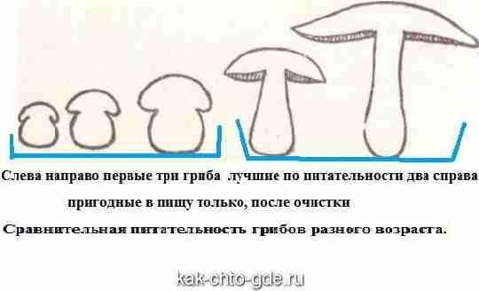 Сравнительная питательность грибов разного возраста
