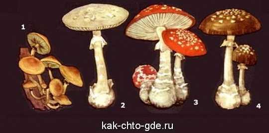 популярные ядовитые грибы фото