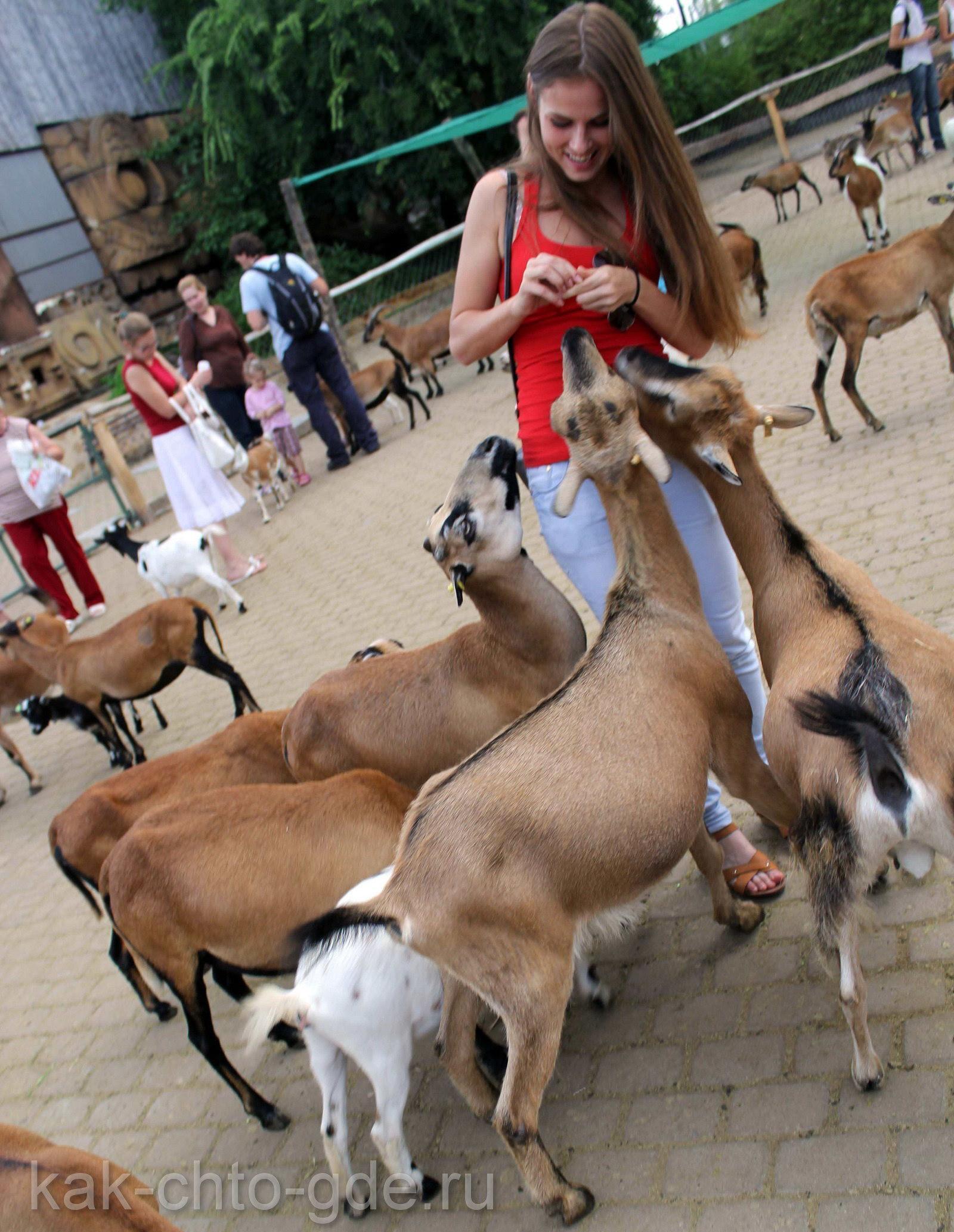 Козы и козлы зоопарка